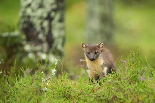 Reintroduction of pine martens