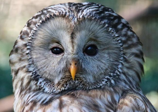 CELEBRATION: This week we admire our native animals such as the Tawny Owl