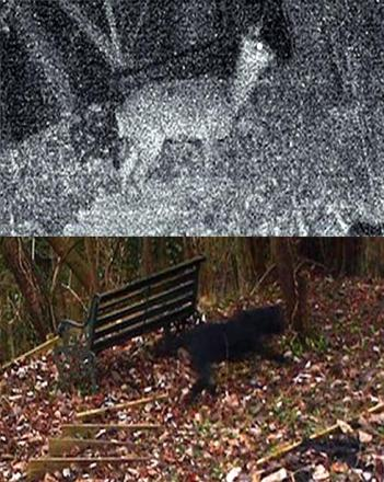 Could this image show a big cat wandering through woodlands near Nailsworth? The photograph was taken using a trip camera and above it is an image of a roe deer captured in the same spot, which has been used to estimate the creature's size