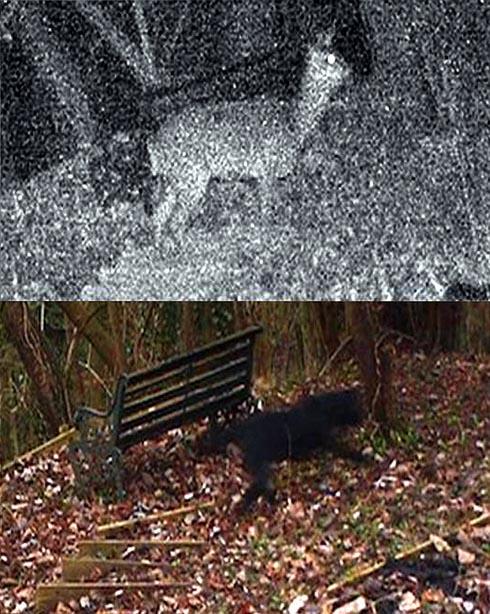 Is this the beast of Woodchester - footage captures what appears to be a big cat in the woods