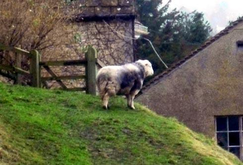 Has Little Bo Peep lost one of her sheep in Stroud? This sheep was found wandering the streets of Lightpill last week