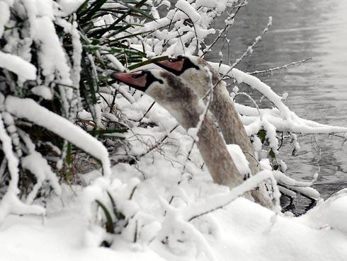 Swans in the snow at Stratford Park lake Picture: Carl Hewlett