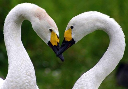 Bewick's swans mate for life  Picture by: Duncan McNab
