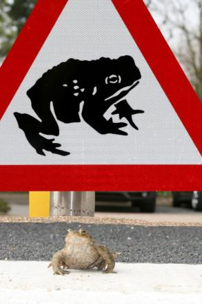 It is estimated that over 20 tonnes of toads are killed on roads every year