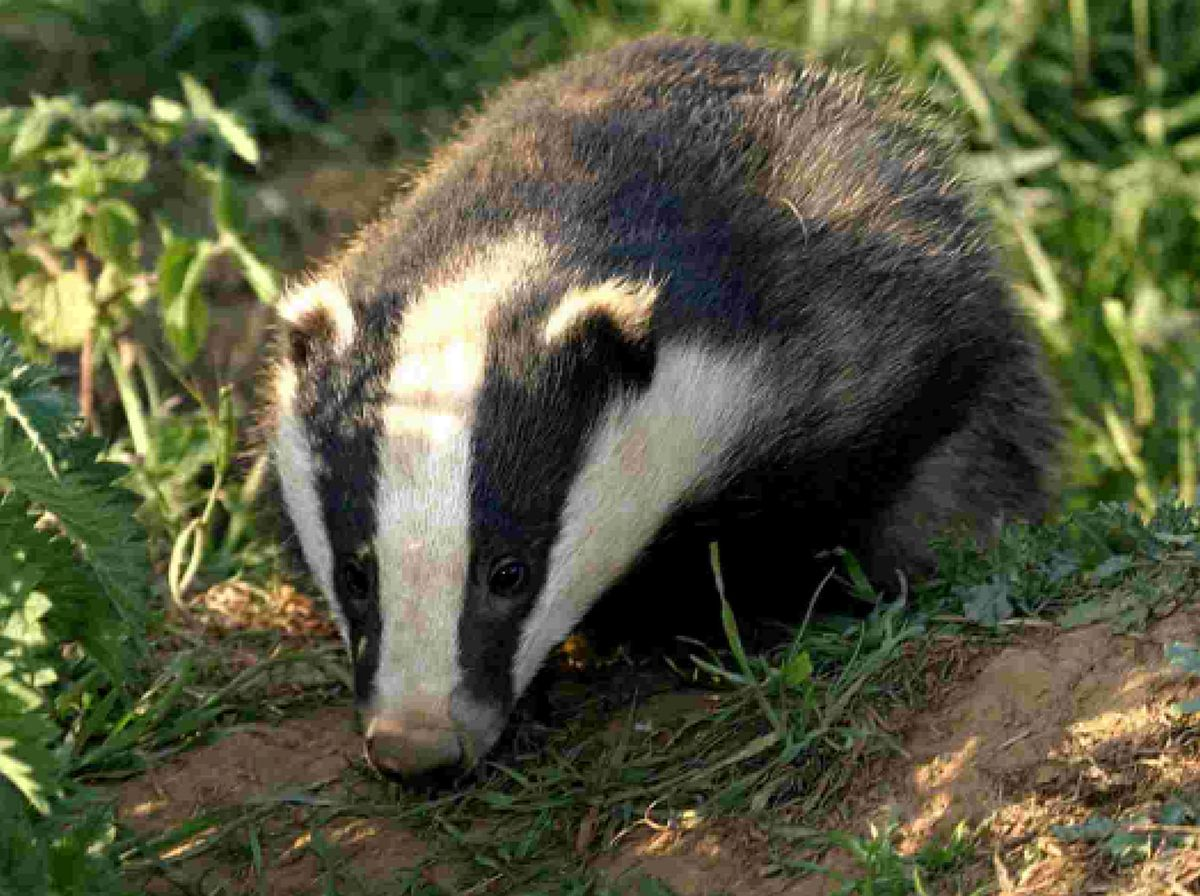 Policing the badger cull in Gloucestershire cost £1.7m