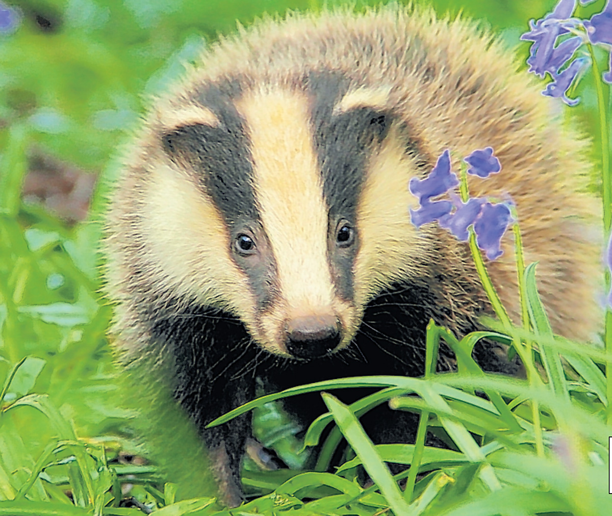 Call to ban future badger culls in Gloucestershire dismissed by county council