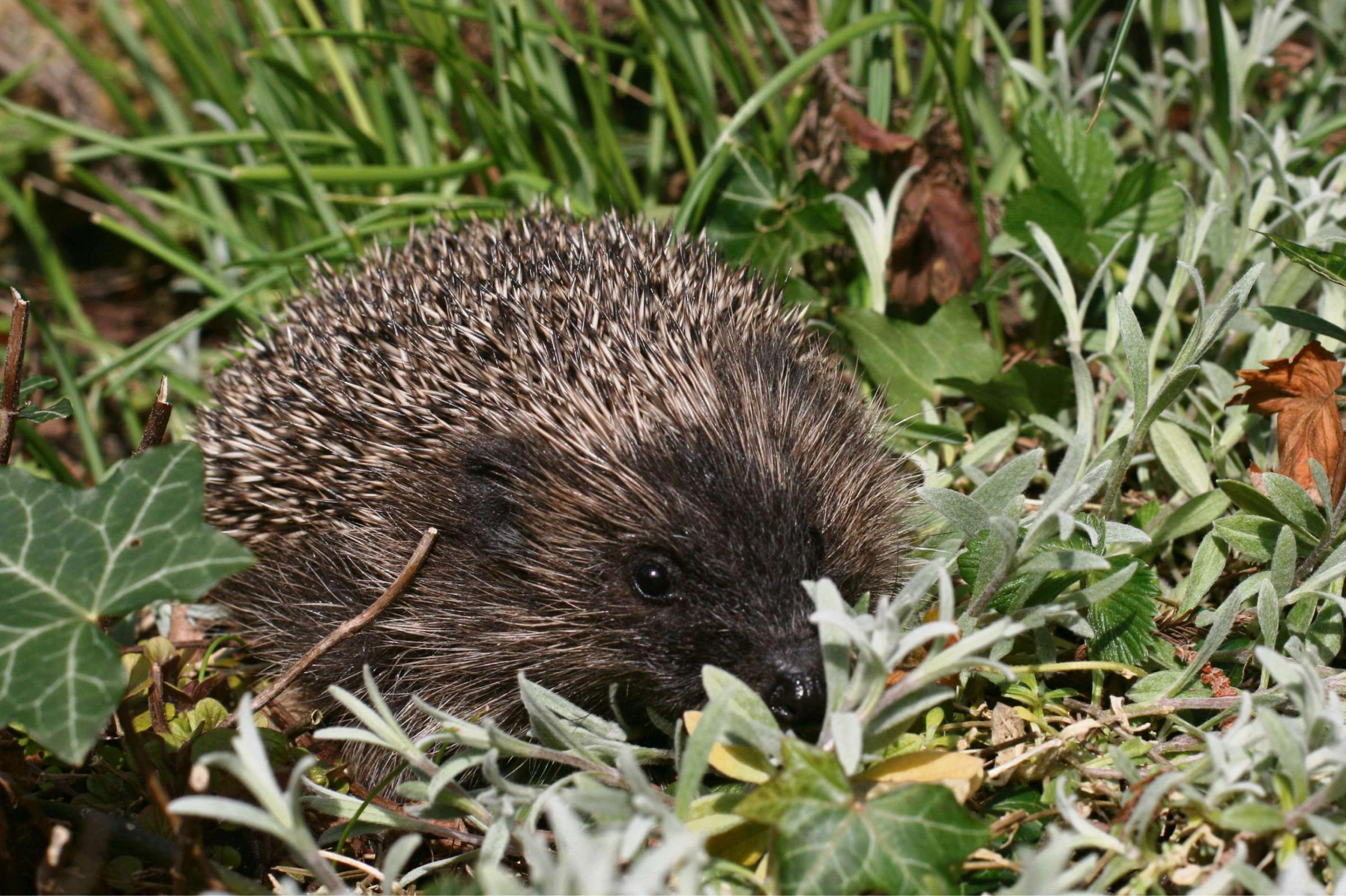 Suzie - a hoglet rescued last winter by the Brimscombe-based Help a Hedgehog Hospital (3713211)