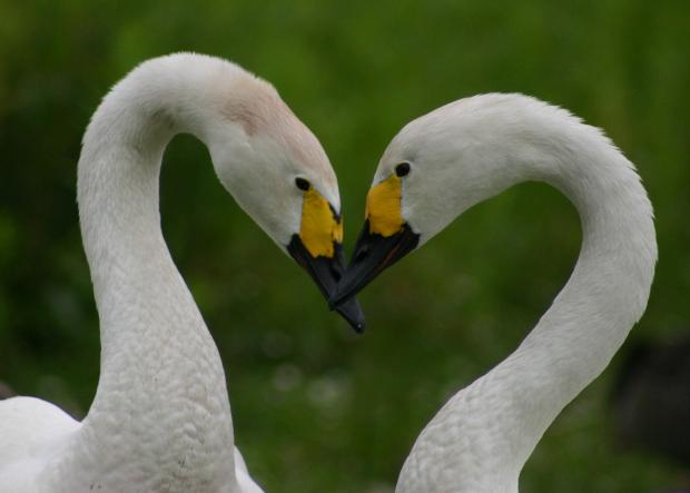 Lovebirds: Swans Zara and Tindall feature on a special trail at WWT Slimbridge which is aimed at families and romantic couples (3988594)
