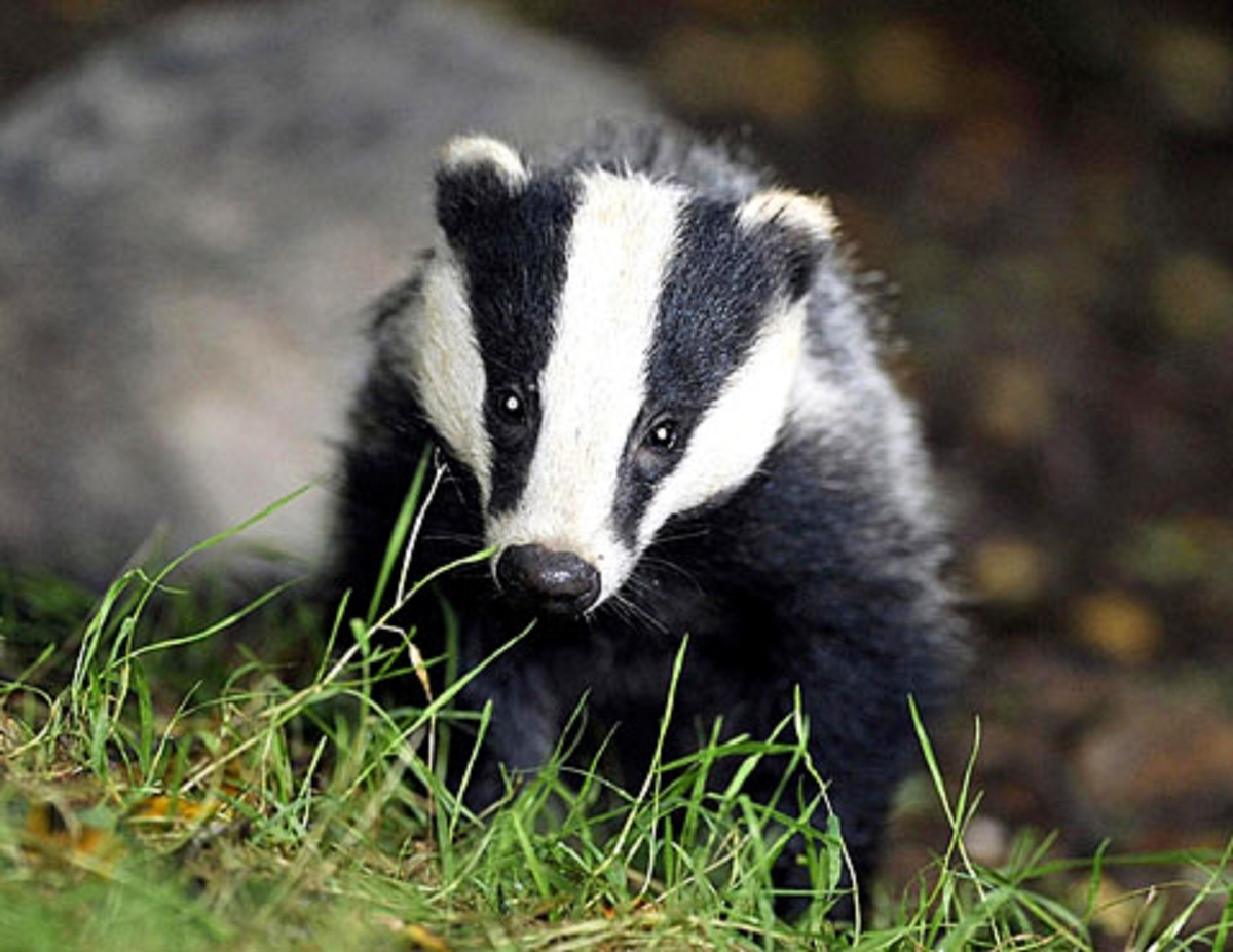 Badger cull pilots fail humane test