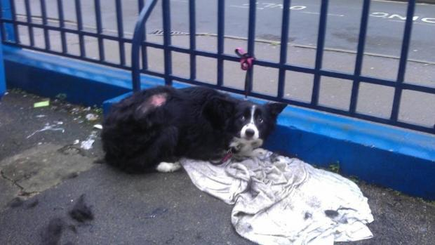 Abandoned collie dog left tied to railing outside RSPCA in Stroud