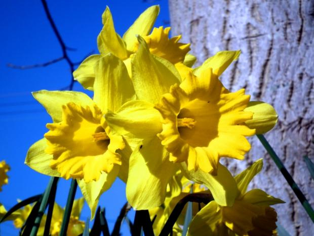 Stroud News and Journal: Daffodils mark the start of Spring for one