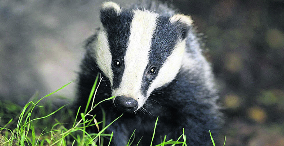 Badger cull will not be expanded to other areas - but continues in Gloucestershire