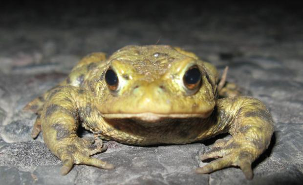 Stroud News and Journal: Bufo bufo, the common European toad
