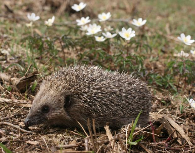 Hedgehogs have declined by 35 per cent
