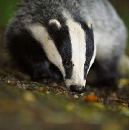 Gloucesterhsire County Council recommend Defra as responsible body for badger cull task group