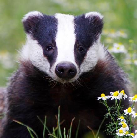 Badger cull campaign group feel concerns are being ignored