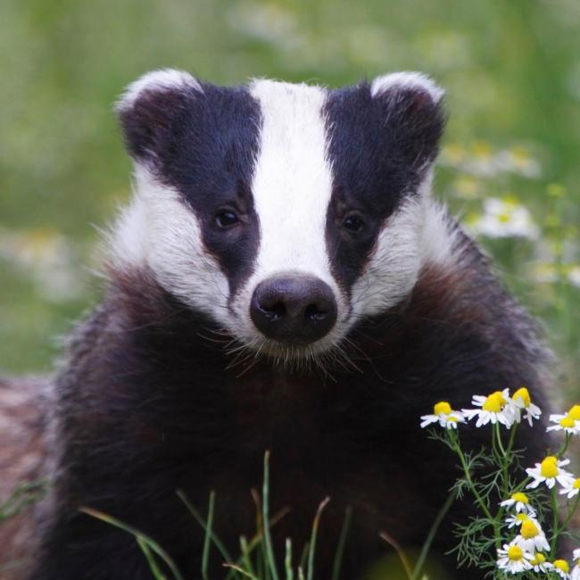 Badgers and bovine TB.