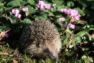 News from the Help a Hedgehog Hospital with Julien Crowther: Hedgehogs hibernate