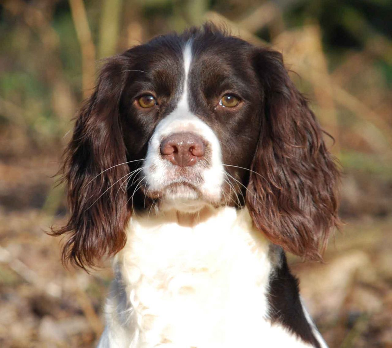 Plea To Help Find 12 Month Old Male Springer Spaniel Lost In