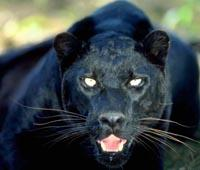 Stroud News and Journal: Is a panther on the loose in the Five Valleys?