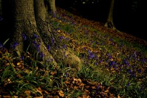 Reader's Letter: Reader's photograph shows a colourful carpet of bluebells