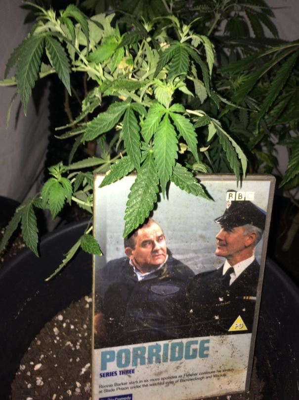 Cannabis plants found in a property in Moreton in Marsh. Picture by Cotswolds Police