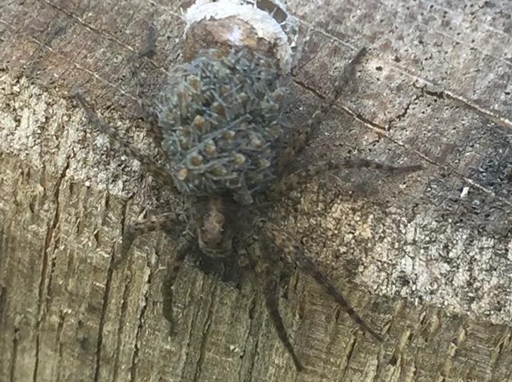 Claire Sloman spotted the spider carrying dozens of her babies on her back in her garden in Cirencester
