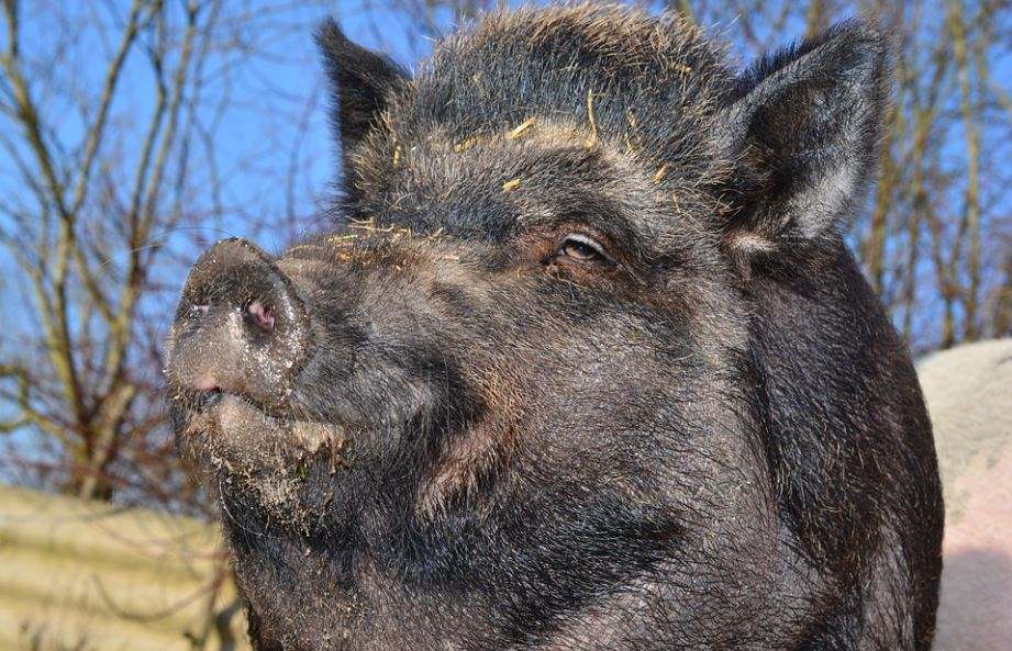 The wild boar may have been spotted on Rodborough Common this week