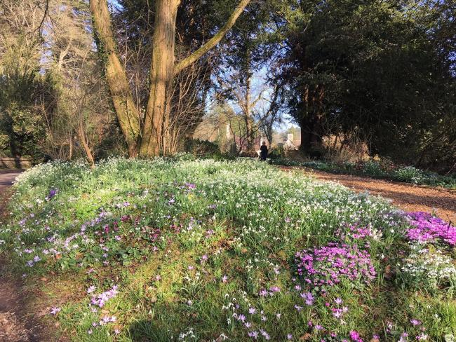 Snowdrops this season at Colesbourne Park